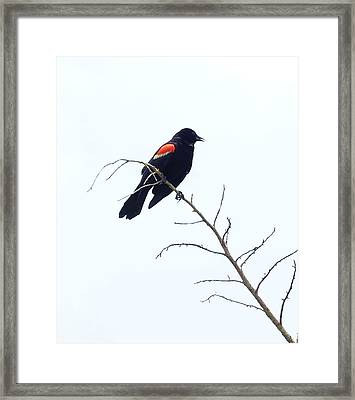 Red-winged Blackbird Framed Print by Paul  Wilford