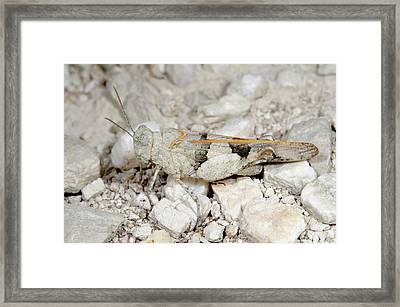 Red-winged Grasshopper Framed Print by Nigel Downer