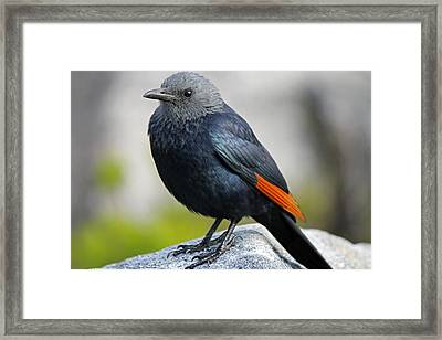 Red-winged Starling Framed Print by Chris Whittle