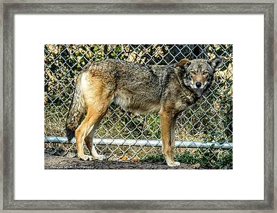 Red Wolf Framed Print by Maurice Smith