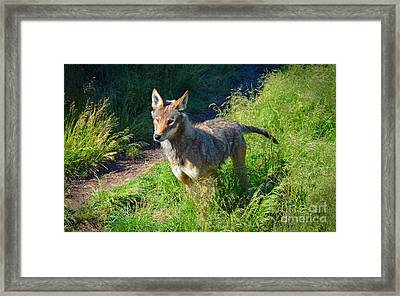 Red Wolf Pup Framed Print