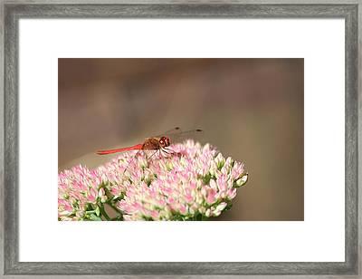 Red Wonder Framed Print by Sue Chisholm
