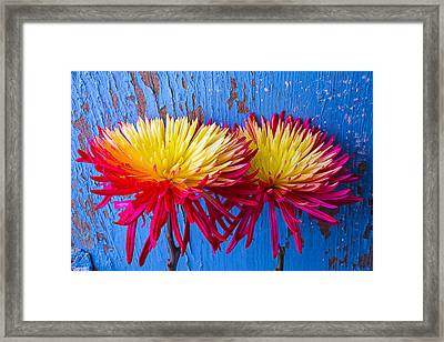 Red Yellow Mums Against Blue Wall Framed Print by Garry Gay