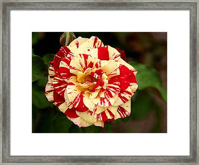 Red Yellow Rose Framed Print by Christine Till