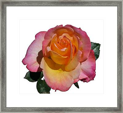 Red Yellow Rose Framed Print by Geoffrey McLean