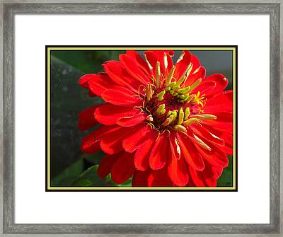 Framed Print featuring the photograph Red Zinnia With Yellow by Heidi Manly