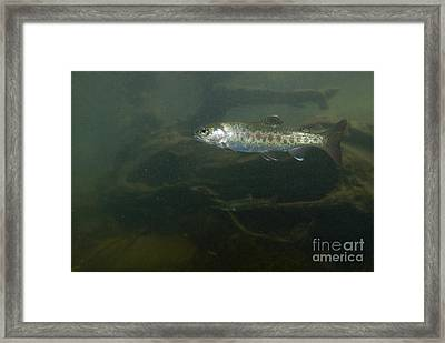 Redband Trout Framed Print by William H. Mullins