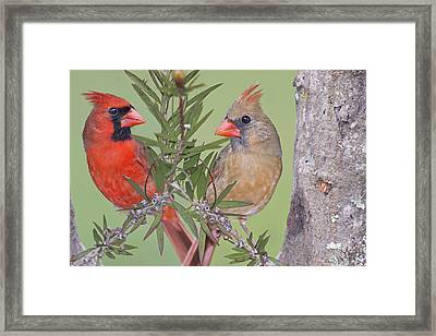 Redbirds Face To Face Framed Print by Bonnie Barry