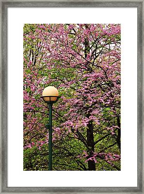 Redbud And Lamp Framed Print by Tom and Pat Cory