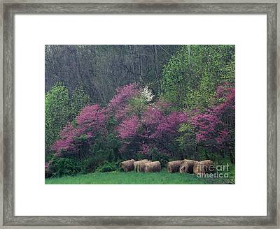 Redbud - Fm000095 Framed Print by Daniel Dempster