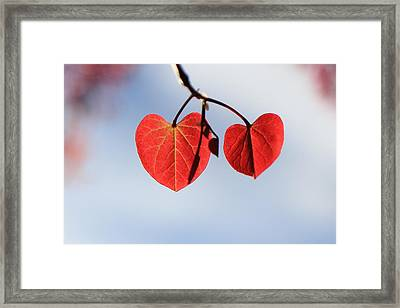 Redbud Illumined Framed Print