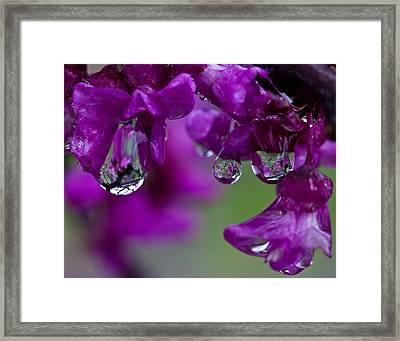 Redbud In The Rain Framed Print by Mark Alder
