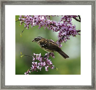 Redbud With Grosbeak Framed Print