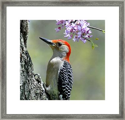 Redbud With Woodpecker Framed Print