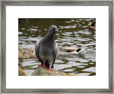 Redclaws The Pigeon Posing Framed Print