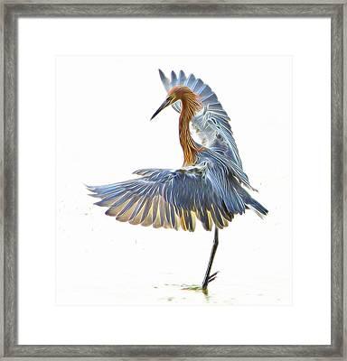 Reddish Egret 1 Framed Print by William Horden
