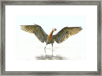 Reddish Egret 2 Framed Print by William Horden