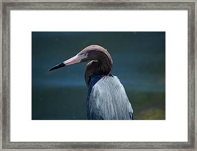 Reddish Egret 3 Framed Print