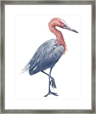 Reddish Egret Framed Print by Anonymous