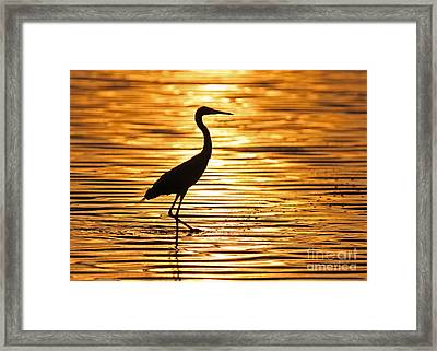 Reddish Egret At Sunset Framed Print by Jennifer Zelik