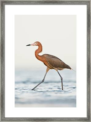 Reddish Egret (egretta Rufescens Framed Print by Larry Ditto