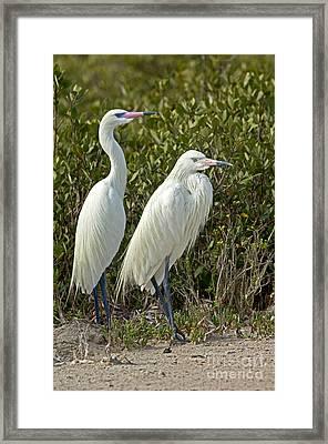 Reddish Egret Egretta Rufescens Pair Framed Print by Anthony Mercieca