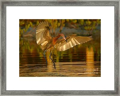 Reddish Egret In Golden Sunlight Framed Print