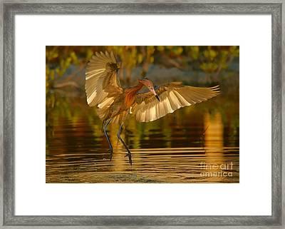 Reddish Egret In Golden Sunlight Framed Print
