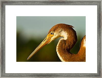 Reddish Egret In Shark Valley Florida Framed Print by Andres Leon