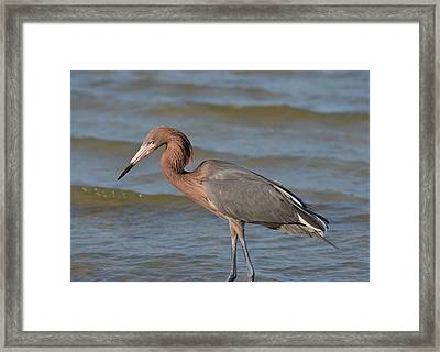 Reddish Egret Framed Print by James Petersen