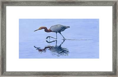 Reddish Egret Framed Print by Kirsten Wahlquist