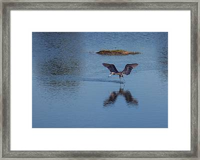 Reddish Egret Looking For Lunch Framed Print by John M Bailey