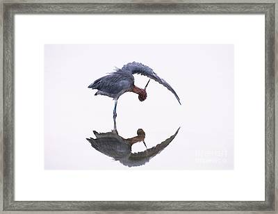 Reddish Egret Framed Print by Marie Read