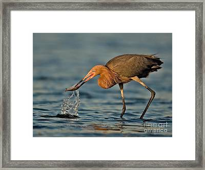 Reddish Egret Strike Framed Print by Jerry Fornarotto