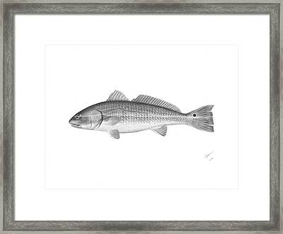Redfish - Scientific Framed Print