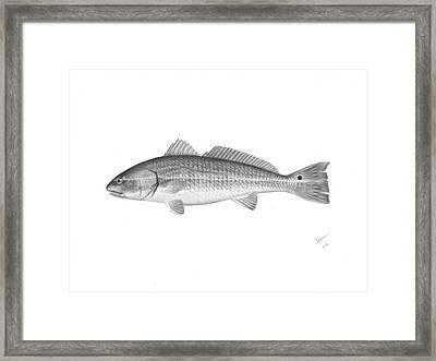 Redfish - Scientific Framed Print