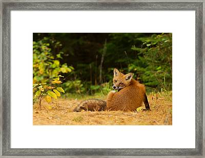 Redfox, Algonquin Park Framed Print by Jim Cumming