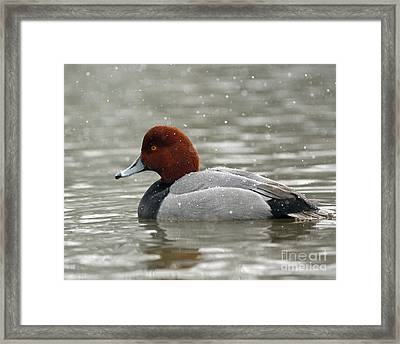 Redhead Duck In A Winter Snow Storm Framed Print