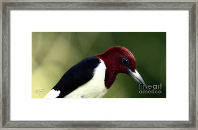 Redheaded Woodpecker At Dusk Framed Print by Cris Hayes