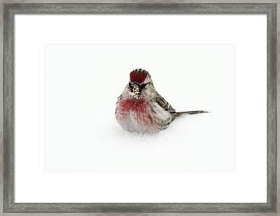 Redpoll In Snow Framed Print