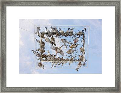 Redpols And Blue Skies Framed Print by Tim Grams