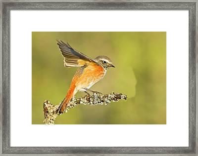 Redstart (phoenicurus Phoenicurus Framed Print by Photostock-israel