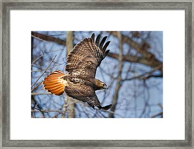Redtail Hawk Framed Print by Bill Wakeley