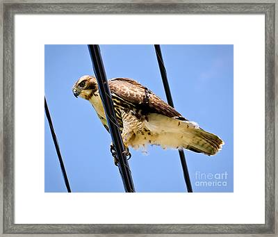 Redtailed Hawk Framed Print