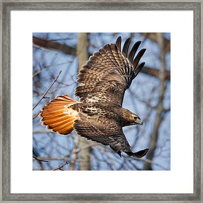 Redtail Hawk Square Framed Print by Bill Wakeley