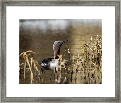 Redthroated Loon Framed Print