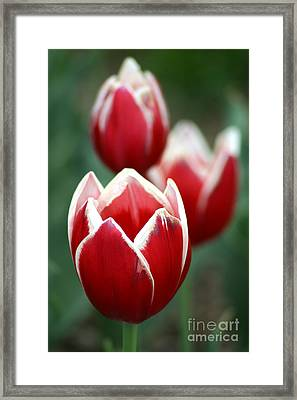 Redwhitetulips6838-1 Framed Print by Gary Gingrich Galleries