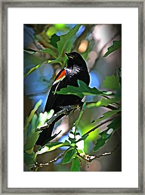 Redwing Blackbird On Alert Framed Print