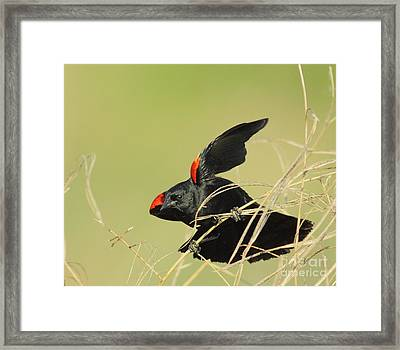 Redwing In Grass Framed Print by Robert Frederick