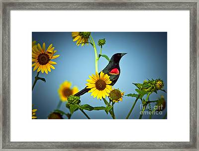 Redwing In Sunflowers Framed Print by Robert Frederick